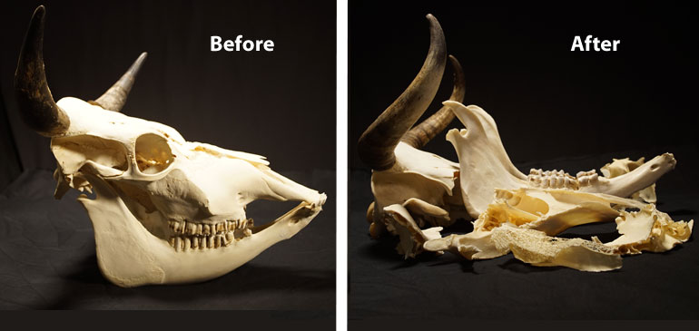 Cow skull before and after being crushed