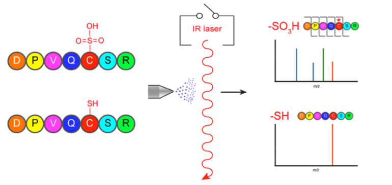 Schematic of LC/MS approach that leverages the high IR absorbance of sulfoxides for selective dissociation and discovery of S-sulfonated peptides.