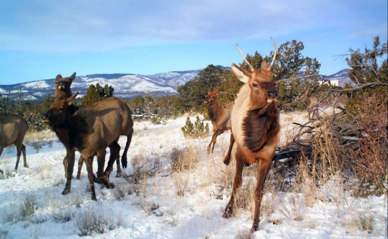 Rocky Mountain Elk at Los Alamos National Laboratory in New Mexico.