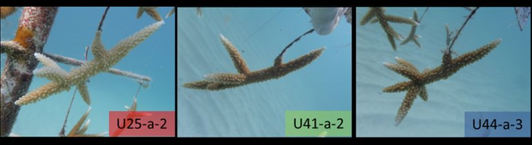 Three genotypes of Acropora cervicornis from an established coral nursery near Tavernier, FL used in this study.