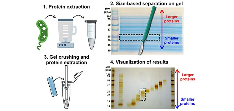Prefractionation of Intact Proteins for Mass Spectrometry