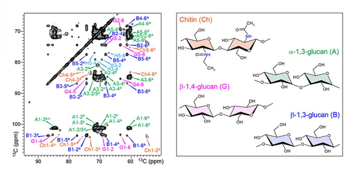 left: two-dimensional 13c-13c spectra  right: representative structure of  glycans