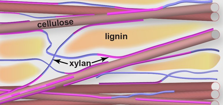 LSU's Tuo Wang and colleagues discovered that lignin has limited contact with cellulose inside a plant. Instead, the wiry complex carbohydrate called xylan connects cellulose and lignin as the glue.