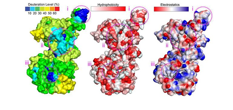 Maps of the surface of a helicase protein.